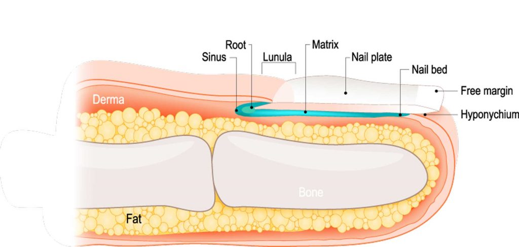 Image of Toe Nail Anatomy